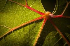 Dramatically Lit Grape Leaf on the Vine Royalty Free Stock Photos