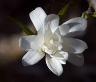 Dramatically Lit Star Magnolia (Magnolia stellata - Royal Star) Stock Photos
