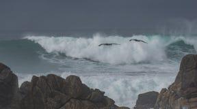 Dramatische golven met pelikanen Royalty-vrije Stock Foto