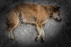 Dramatisk bild av en hund som sover eller absolut Arkivbilder