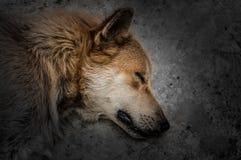Dramatisk bild av en hund som sover eller absolut Royaltyfri Fotografi
