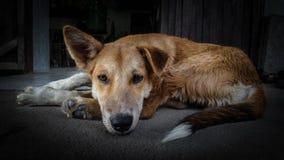 Dramatisk bild av ledset en hund Royaltyfri Fotografi