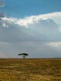 dramatisk ensam serengetiskytree Arkivfoton