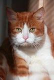 Dramatisk katt Arkivbild