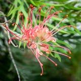 Dramatisk röd Grevillea blomma Royaltyfri Bild