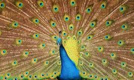 Dramatiska påfågelfjädrar arkivbilder