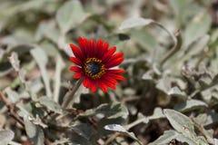 Dramatiska röda Osteospermum Daisy Flower Royaltyfri Fotografi