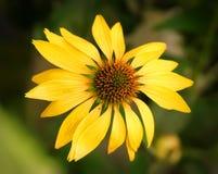 Dramatiskt över den bästa färgmättandet av en blomstra gul echinacea blommar Arkivbild