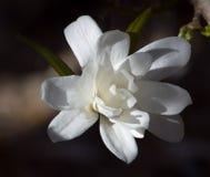 dramatiskt tänd kunglig stjärnastellata för magnolia Arkivfoton