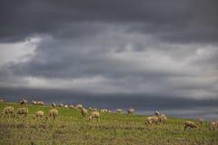 Dramatyczne burzowe chmury nad zielonymi rolnymi polami z baranim pasaniem zdjęcia stock