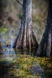 Dramatyczni cyprysowi drzewa błota Zdjęcia Stock