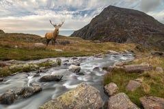 Dramatyczny krajobrazowy wizerunek czerwonego rogacza jeleń rzecznym spływaniem zestrzela zdjęcia royalty free