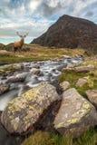 Dramatyczny krajobrazowy wizerunek czerwonego rogacza jeleń rzecznym spływaniem zestrzela zdjęcie stock