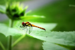 Drangonfly. Dragonfly on a leave, Hokkaido Royalty Free Stock Images