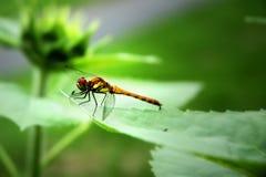 Drangonfly Immagini Stock Libere da Diritti