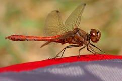 Drangonfly immagine stock libera da diritti