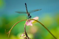 Drangonfly fotos de archivo libres de regalías