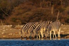 Drank van de Burchell` s de gestreepte kudde op waterhole, etosha nationalpark, Namibië Royalty-vrije Stock Foto