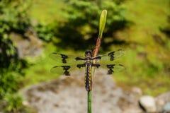 Draonfly på stammen Arkivbilder