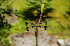 Draonfly sul gambo Immagini Stock