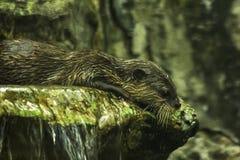 Drapająca wydra w wodzie obrazy stock