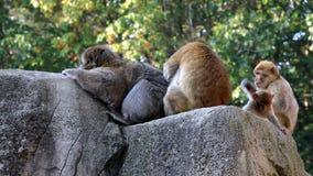 Drapający Barbary makaki Rodzinnych i przygotowywający zbiory wideo