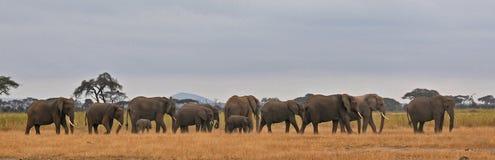 Drapeau d'éléphants - Serengeti (Tanzanie - Afrique) Photos libres de droits
