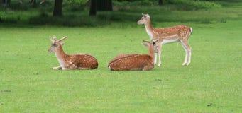 Drapeau de cerfs communs avec l'espace de copie Photo libre de droits