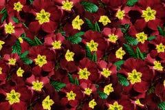 Drapeau des fleurs Background Fleurit les violettes rouges Beaucoup violettes avec un centre jaune collage floral Fleurit la comp Photos stock
