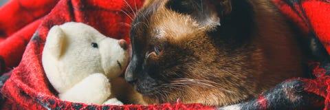 drapeau Le chat thaïlandais siamois est enveloppé dans un plaid avec un jouet mou Le concept de l'automne, hiver, froid Chauffage image stock