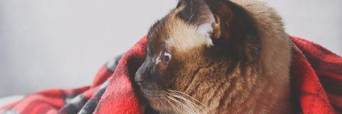 drapeau Le chat thaïlandais siamois est enveloppé dans un plaid avec un jouet mou Le concept de l'automne, hiver, froid Chauffage photos libres de droits