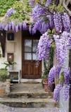 Draperende purpere wisteriawijnstok Stock Foto's
