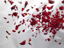 Drapery 06. Rose petals falling on a white drapery Stock Photo