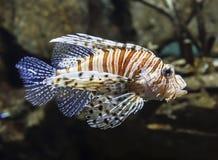 Drapieżczy rybi zebry lionfish w akwarium obrazy stock
