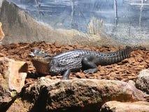 Drapieżnik, krokodyl, aligator, zwierzę, zoo, Francja, Europa Zdjęcia Royalty Free