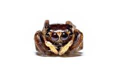 Drapieżnika pająka jumpingb zwierzęcego zbliżenia frontowy widok Fotografia Royalty Free