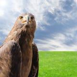 Drapieżnika ptasi złoty orzeł nad naturalnym pogodnym tłem Obrazy Royalty Free