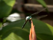 Drapieżnika smoka komarnica w czekaniu obrazy royalty free