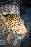 Drapieżczy ssak Zdjęcia Royalty Free