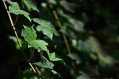 Drapierende grüne Efeuniederlassung stockfotos