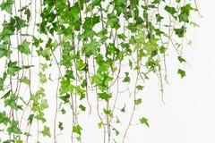 Drapierender grüner englischer Efeuhintergrund Stockfotos