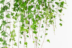 Drapować zielonego angielskiego bluszcza tło Zdjęcia Stock
