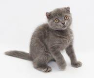 Drar tillbaka det skotska vecket för den lilla blåa kattungen fearfully sedan arkivbild