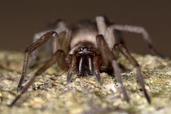 Drassodes cupreus spider fangs Royalty Free Stock Image