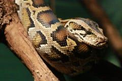 Drastische Beleuchtung-Birmane-Pythonschlange stockbilder