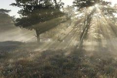 Drastische Sonnenstrahlen durch Buchenbaum auf nebelhaftem Morgen lizenzfreie stockbilder