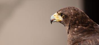 Drastischer Schuss des Adlers mit Blut auf seinem Schnabel Lizenzfreie Stockbilder