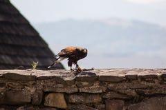 Drastischer Schuss des sitzenden Adlers Stockfoto
