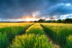 Drastischer Sonnenuntergang über Gersten-Feldern Lizenzfreie Stockfotos