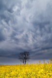 Drastischer Sturmhimmel über Baum und Rapssamen blühen Stockfotos